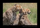 Cheetah_Bath