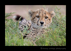 Picture of a cheetah cub in grass in the Masai Mara National Reserve. Photo taken by Greg of Harvey Wildlife Photography.