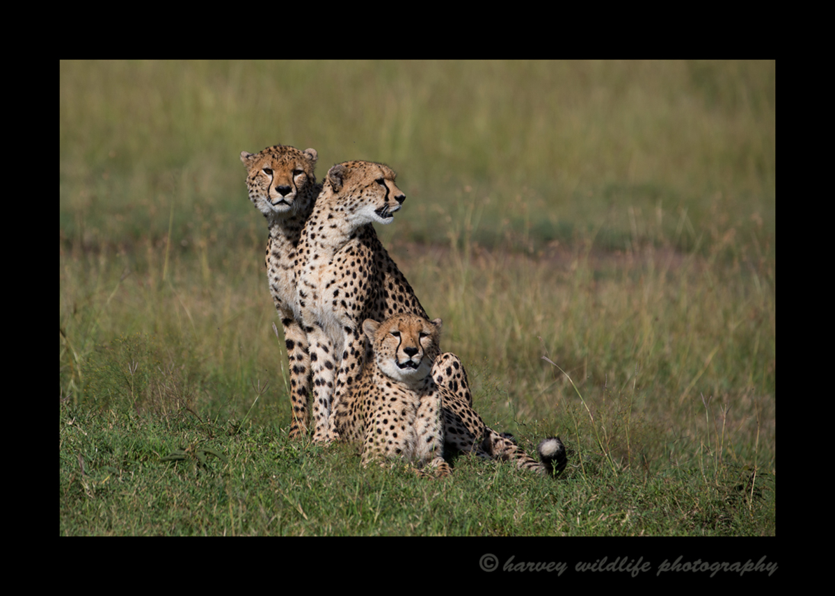 Picture of three cheetahs in masai mara national reserve. Photo taken by Harvey Wildlife Photography.