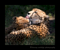 Cheetah_Spotlight_Grooming