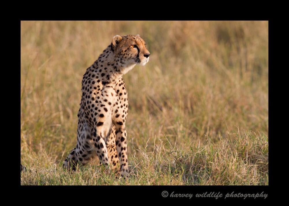 Cheetah_mom_IMG_0431