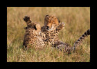 Cheetah mom and cub playing.