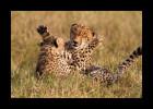 Cheetah mom and cub playing.