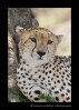 This is one of the three famous cheetah brothers from the Masai Mara. They have been in several nature documentaries about cats in the Masai Mara.