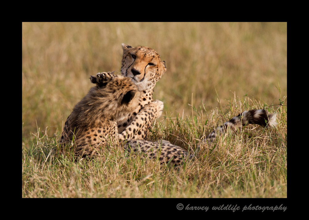 A cheetah mom and her eight month old cub enjoy some play time. Cheetahs' claws don't retract so they really have to be careful that they don't get scratched in the eyes when they play.