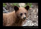 Cinamon-bear-2
