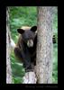 Cinnamon Black Bear Hugging Tree