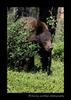 Cinnamon_black_bear