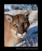 This puma is a wildlife model living in Montana.