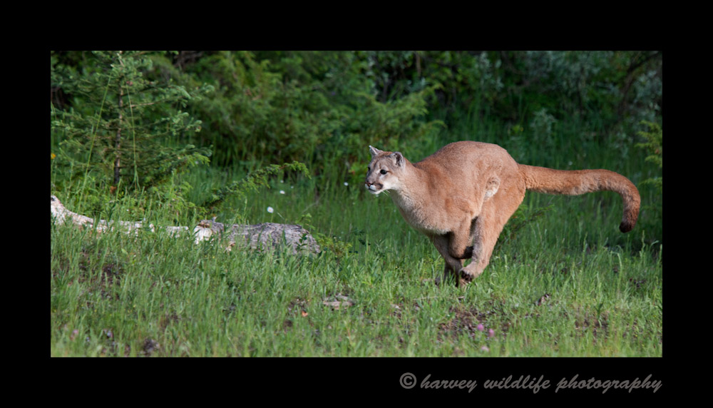 This cougar is a wildlife model living in Montana.
