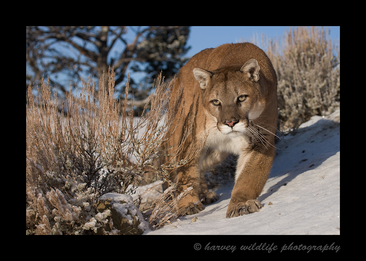 Cougar Stalking in Snow II