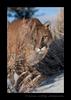 Cougar Stalking