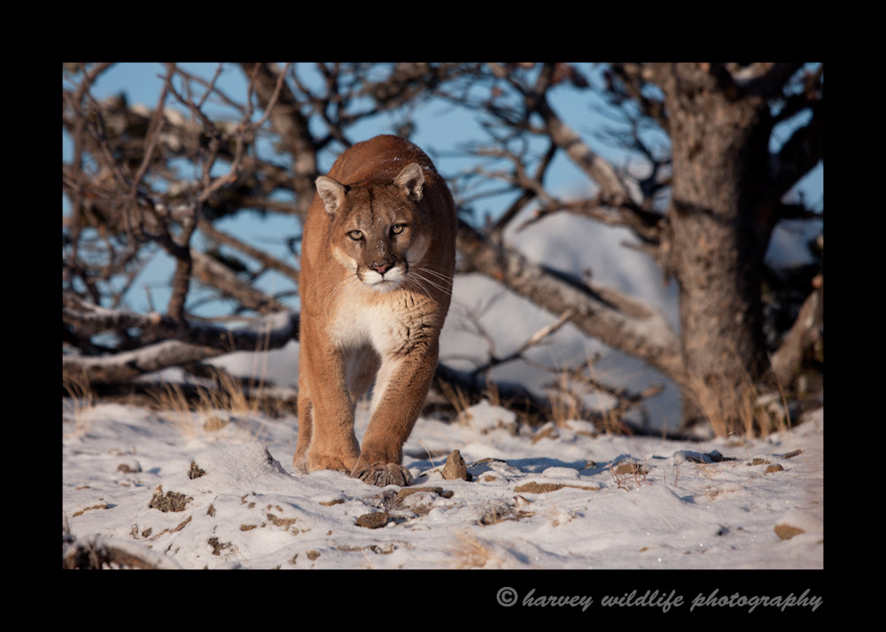 photograph of a cougar in the morning