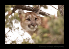 Cougar picture from Crowsnest Pass, Alberta