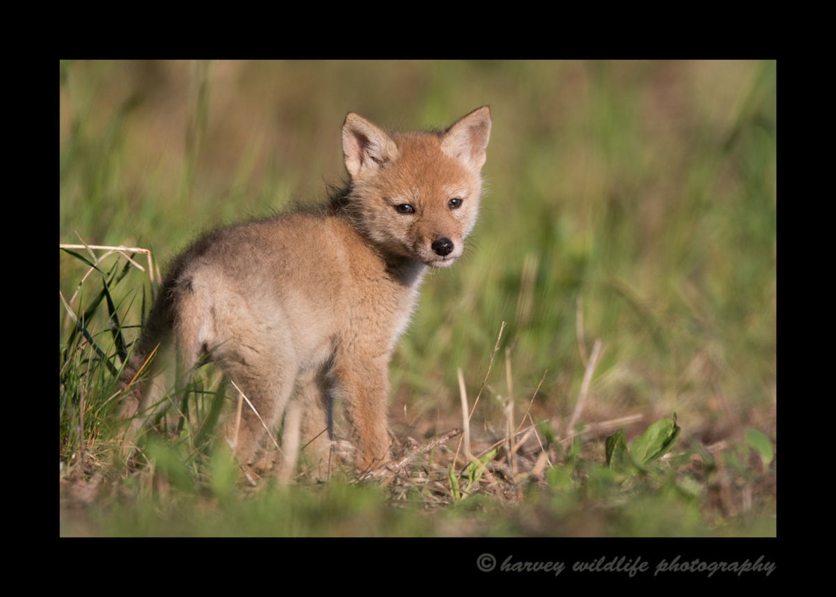 Picture of a six week old coyote puppy looking back at the blind. Photo taken near Stony Plain by Greg of Harvey Wildlife Photography.