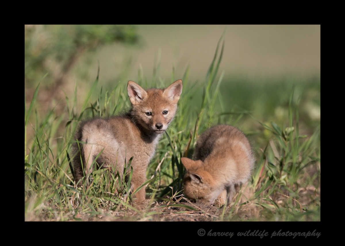Picture of a coyote pup pose on a field near Stony Plain, Alberta.