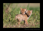 Picture of two coyote pups cuddling. Photo taken near Stony Plain, Alberta