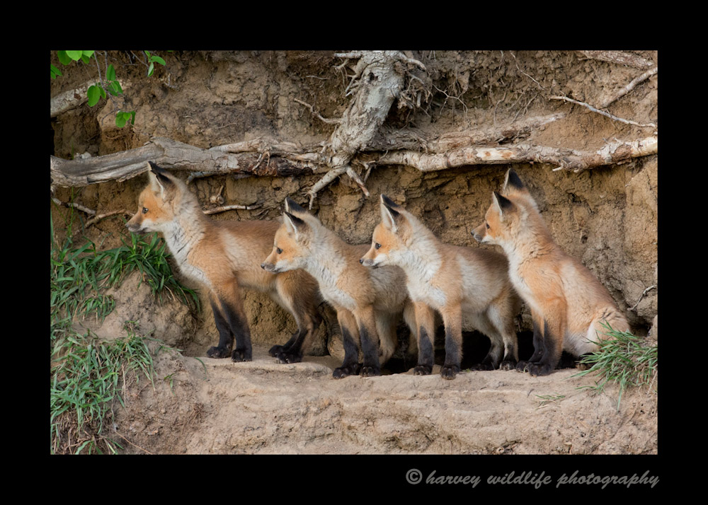 The fox kits heard coyotes howling off in the distance. Moments later they scooted down into the den and that was pretty much the end of our photo session that night.