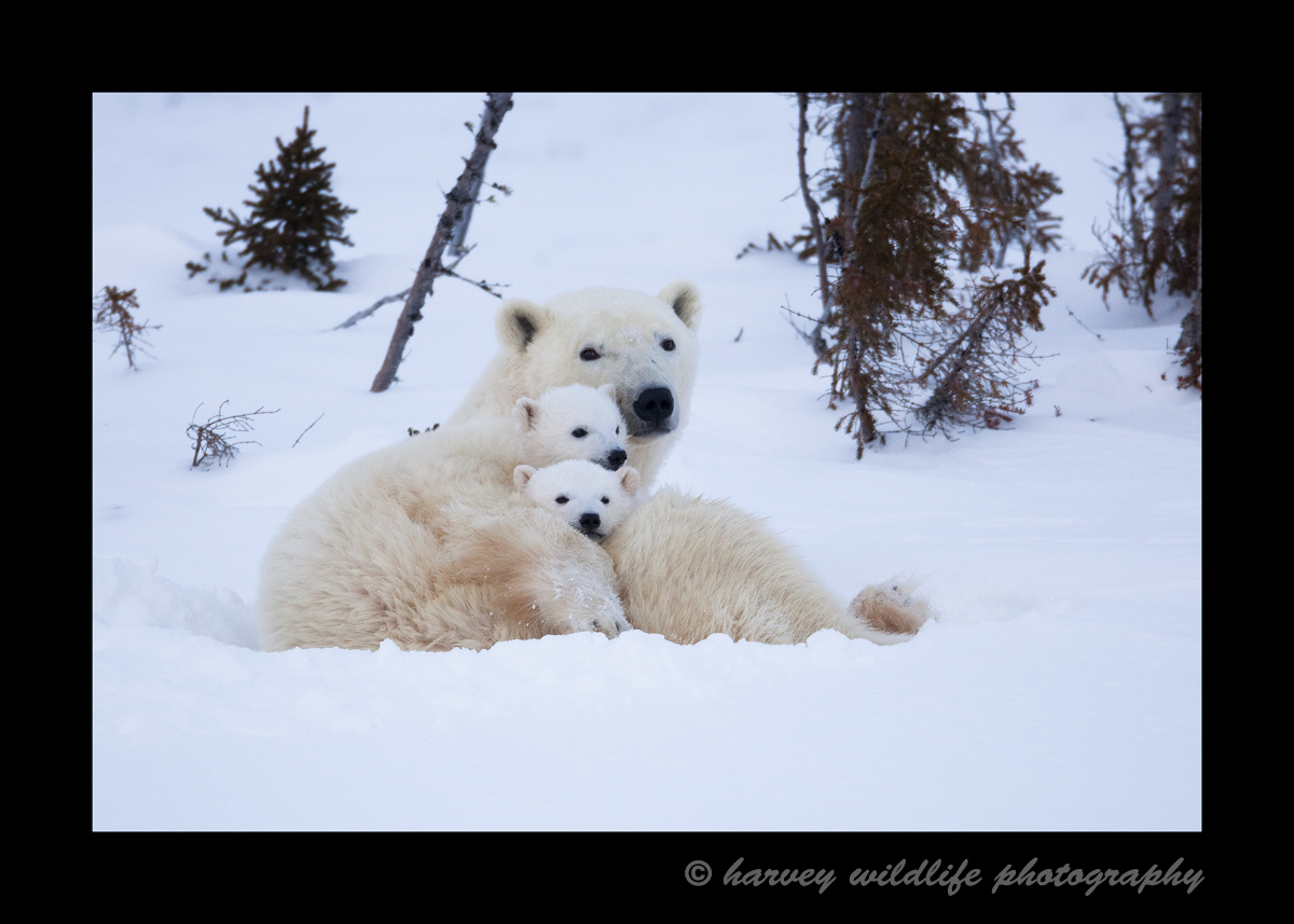 A cozy polar bear family in Wapusk National Park, Manitoba, Canada.