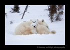 The cubs were curious about what the photographers were up to. Mom couldn't be bothered as she gets in a nap.