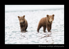 These two brown bear cubs are hanging out with their mommy at low tide. Mom digs up clams and shares them with her kids.