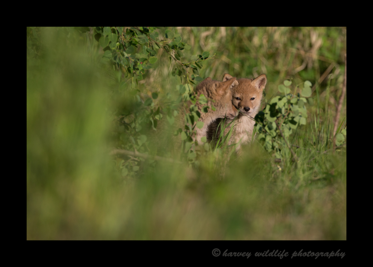 Picture of coyote cuddly pups in a  field near Stony Plain, Alberta.