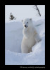Cute_polar_bear_cub