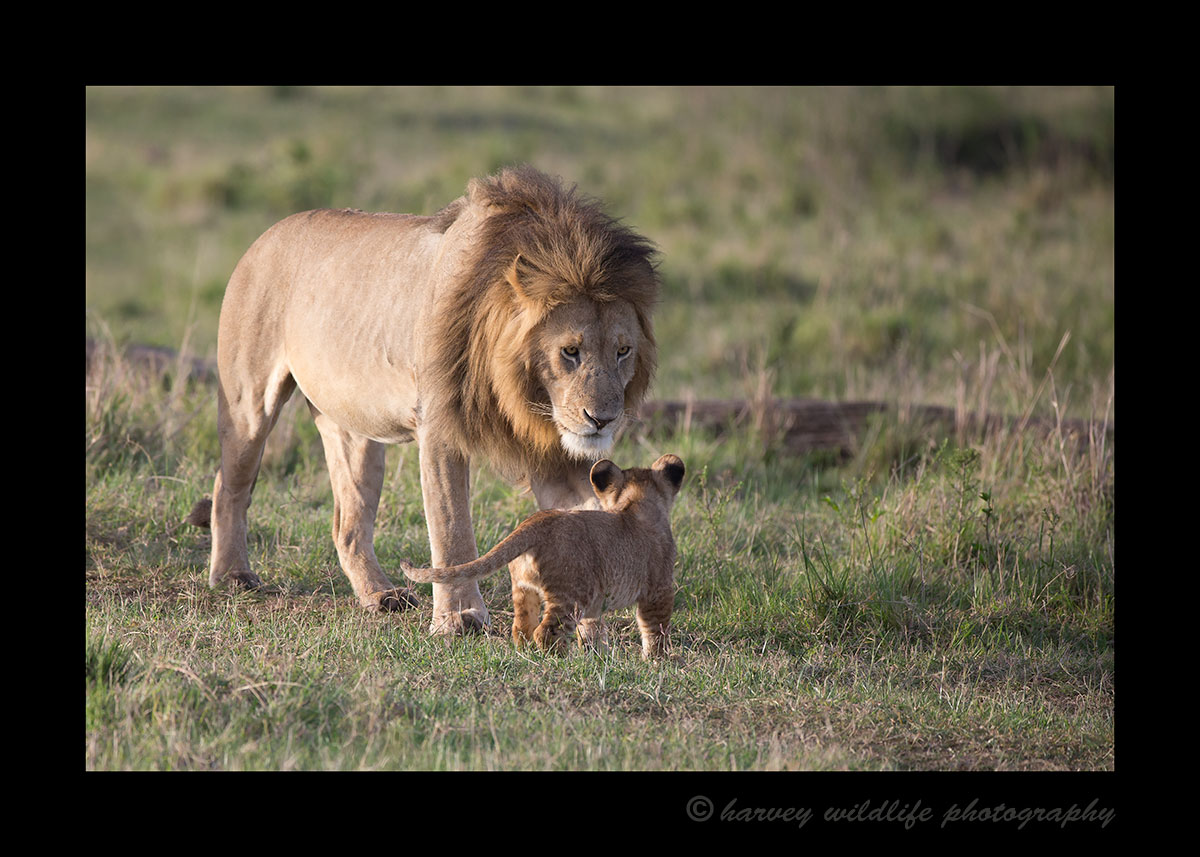 Dad and Cub Masai Mara
