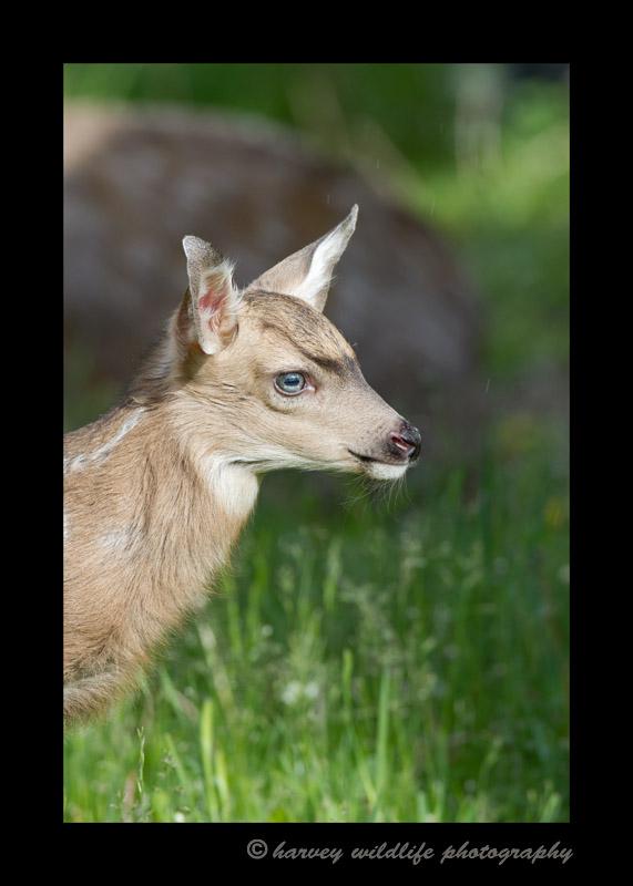 Deer-Fawn-5528