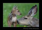 Deer-Fawn-5565