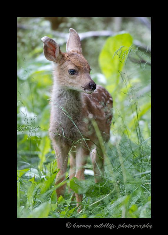 Deer-Fawn-IMG_6331