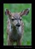 Deer-Fawn