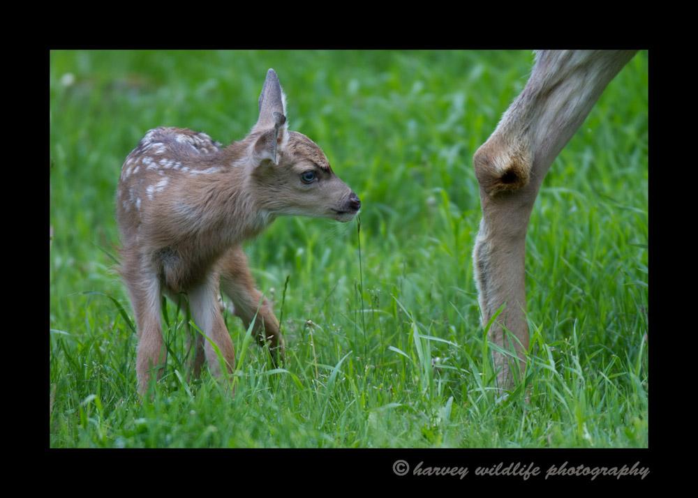 Deer-fawn-IMG_6075
