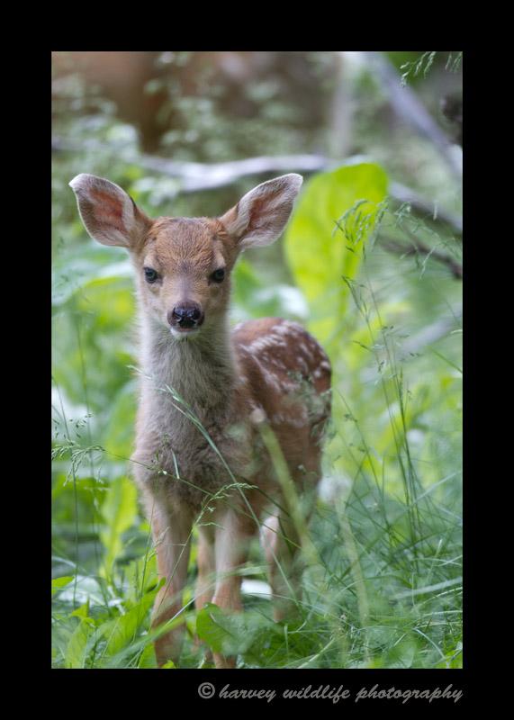 Deer-fawn-IMG_6327