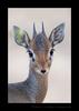 Dik Dik, Masai Mara, HW Safaris