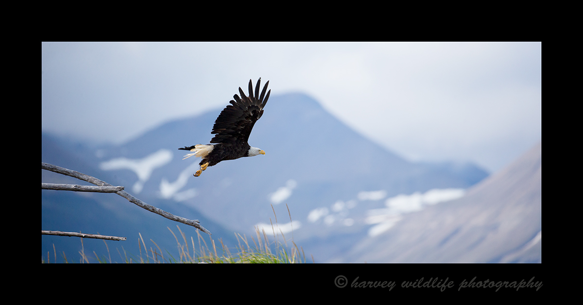 Eagle in Flight, Hallo Bay, Alaska