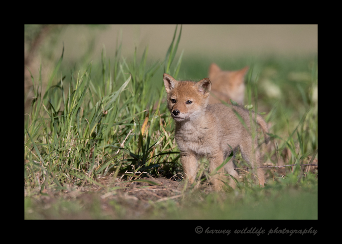 Picture of eight week old coyote cubs near Stony Plain, Alberta.