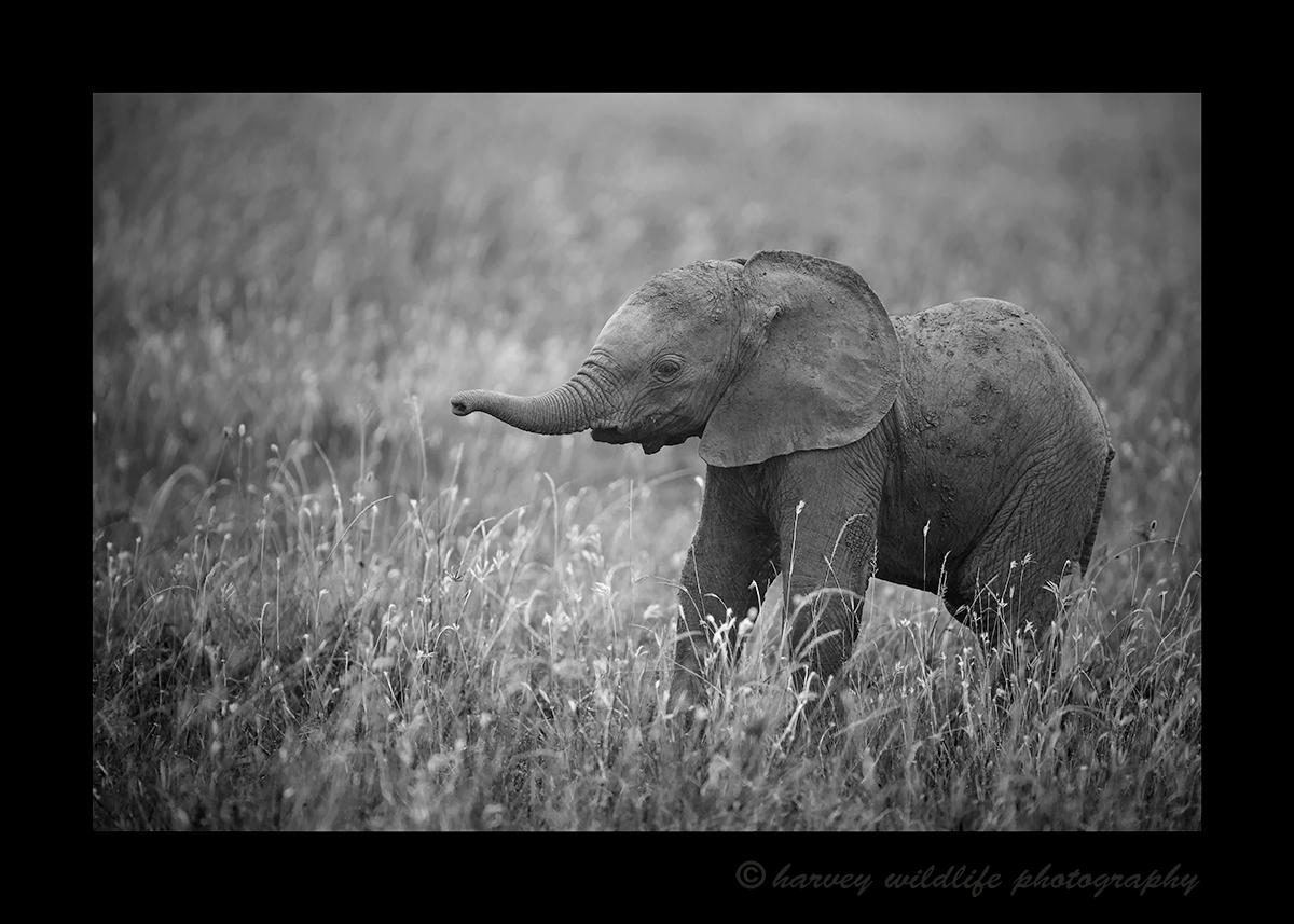 Elephant Baby Masai Mara, 2018
