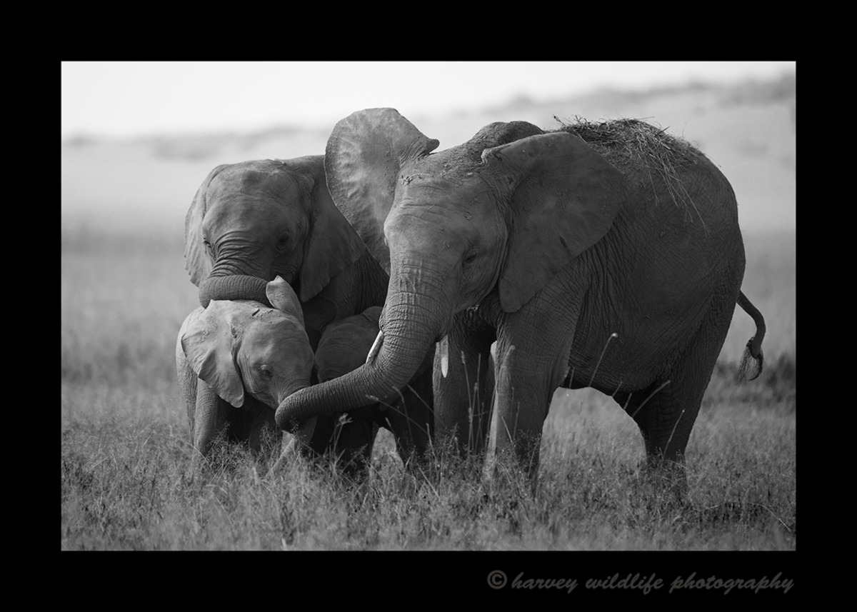 Black and white picture of protective elephant family in the Masai Mara National Park in Kenya.