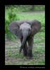 Baby Elephant Mock Charge