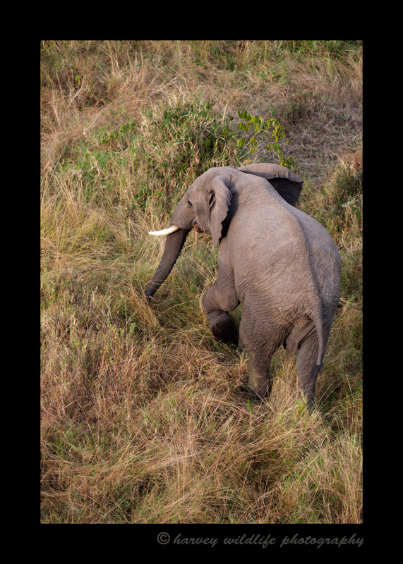 I photographed this elephant while floating above it 65 feet in the air in a hot air balloon.