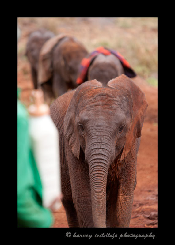 At lunch time the elephant keepers wait for the orphaned baby ellies with their made for baby ellie milk blend. The babies come running from the pasture for their nutritious lunch.