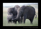 Picture of elephants protecting Their calves in the Masai Mara, Kenya.