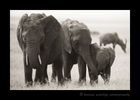Picture of elephants in the Masai Mara in Kenya. Photo by Greg of Harvey Wildlife Photography.