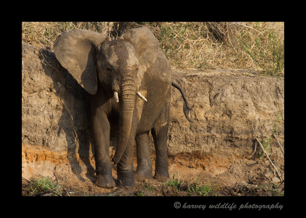 After a playtime in the water, this juvenile elephant poses for a few pictures.