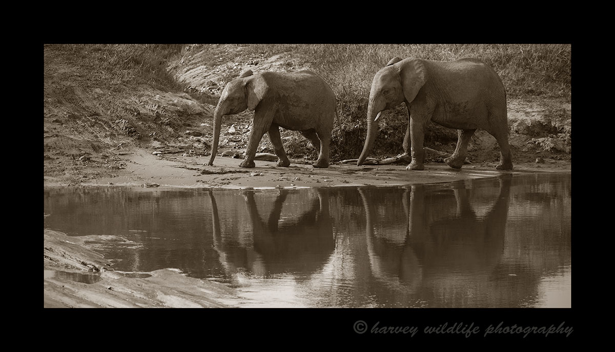 Sepia Elephant Reflection