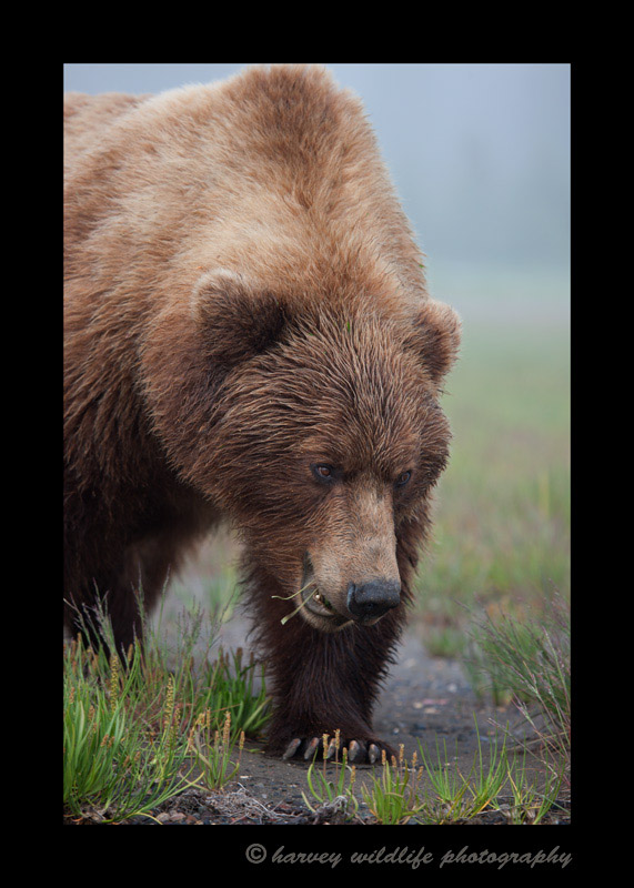 Female-brown-bear
