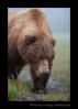 Female-brown-bear