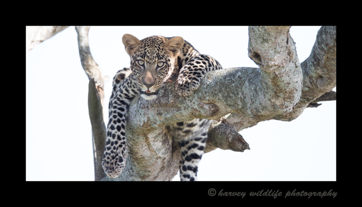 Picture of a leopard in a tree in the Masai Mara National Reserve. Photo by Greg of Harvey Wildlife Photography.