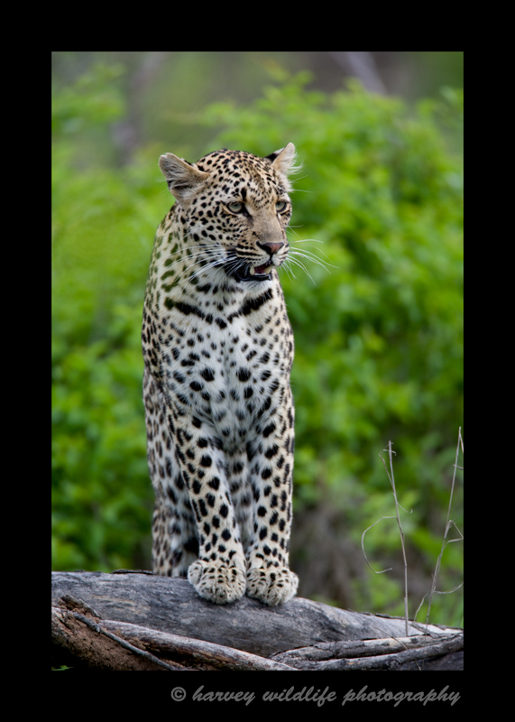 This is the first leopard that I saw in the wild.